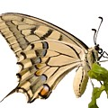 Swallowtail Butterfly Vector Isolated by Taiche Acrylic Art