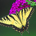 Swallowtail by Carol A Commins