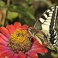 Swallowtail  by Cliff Norton