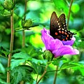 Swallowtail In Flower by John Prickett