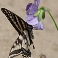 Swallowtail by Liz Vernand