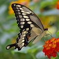 Swallowtail On A Lantana by Jane Erhardt