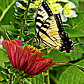 Swallowtail On A Zennia by Melody Meadows