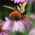 Swallowtail On Coneflower by Debra Straub