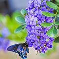 Swallowtail On Mountain Laurel by Debbie Karnes