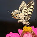 Swallowtail On Pink Flower  by Cliff Norton