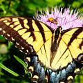 Swallowtail On Thistle by Thomas R Fletcher