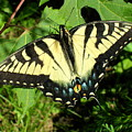 Swallowtail by Peggy King
