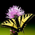 Swallowtail by Randall Ingalls
