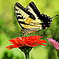 Swallowtail Resting by Melody Meadows