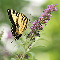 Swallowtail Stance by Michelle DiGuardi