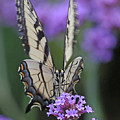 Swallowtail Staredown by Mike Dickie