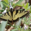Swallowtail by Photography by Tiwago