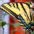 Swallowtail Wing by Heather S Huston