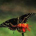 Swallowtail Wingspan  by Ola Allen