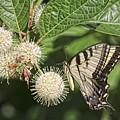 Swallowtail With Flowers by Deborah Benoit