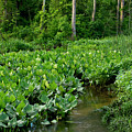 Swamp Creek by Buddy Scott
