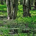 Swamp by Dorothy Binder