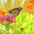 Swamp Milkweed And Monarch by Dawn Braun
