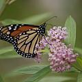 Swamp Milkweed Monarch by Randy Bodkins