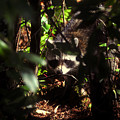 Swamp Raccoon by David Lee Thompson