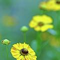 Swamp Sunflower by Debbie Oppermann