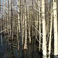 Swamp Trees by Steve Cochran