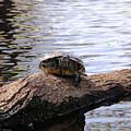 Swamp Turtle by Rich Bodane