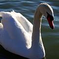 Swan 000 by Chris Mercer