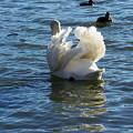 Swan 001 by Chris Mercer