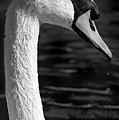 Swan 1 by Rich Killion
