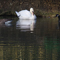 Swan And Geese by Jeremy Hayden