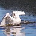 Swan Bath by Doug Thwaites