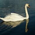 Swan Blasting Away by Douglas Barnett