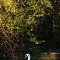 Swan  by Cliff Norton