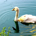Swan Cygnet By Earl's Photography by Earl  Eells a