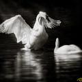 Swan Display by Rikk Flohr