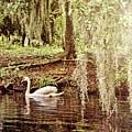 Swan Dreams by Judy Vincent