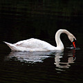 Swan Drinking by Clayton Bruster