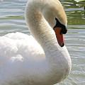 Swan Elegance by Carol Groenen