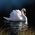 Swan Elegance by Robert Foster