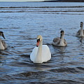 Swan Family At Sea by Adrian Wale