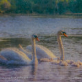 Swan Family At Sunset by Bill McEntee