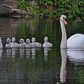 Swan Family Portrait by Linda Crockett