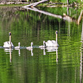 Swan Family With Triplets by Sue Smith