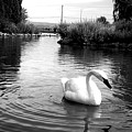 Swan In Black And White by LKB Art and Photography