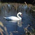 Swan In Blue Pond by Barbara Treaster