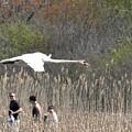Swan In Flight by Jo-Ann  Matthews