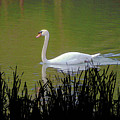 Swan In The Pond by Barry Blackman