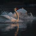 Swan by Jana Behr